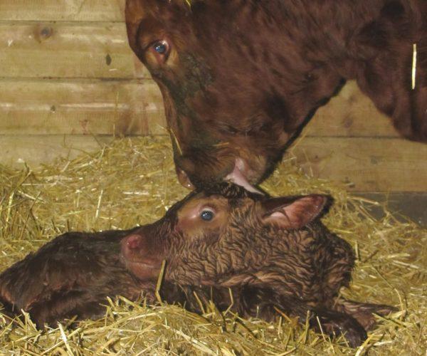 dam and calf